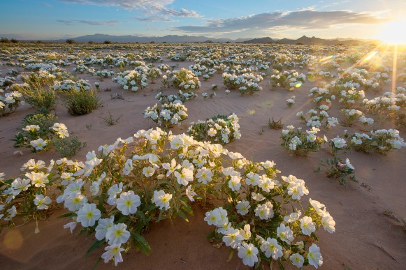 white-flowers-in-the-desert-in-the-cadiz-wilderness